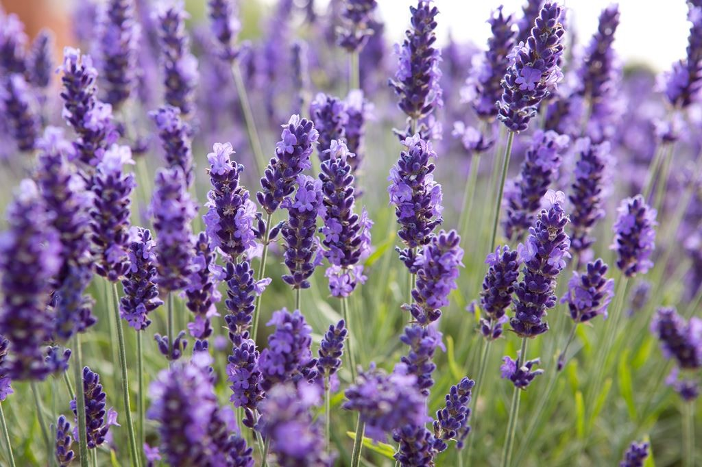 lavender are an easy choice for growing in a low maintenance garden slate project